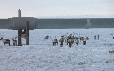 Caribous on Treadmills, and Alaskan oil