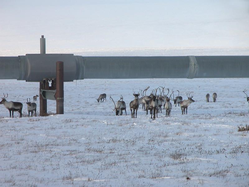 Caribous on Treadmills, and Alaskan oil