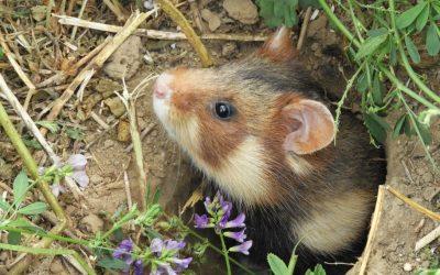 Harmful Hamsters